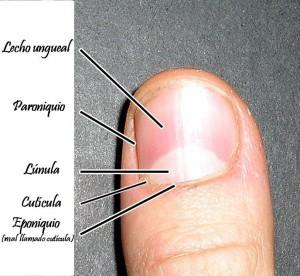 cutícula-eponiquio